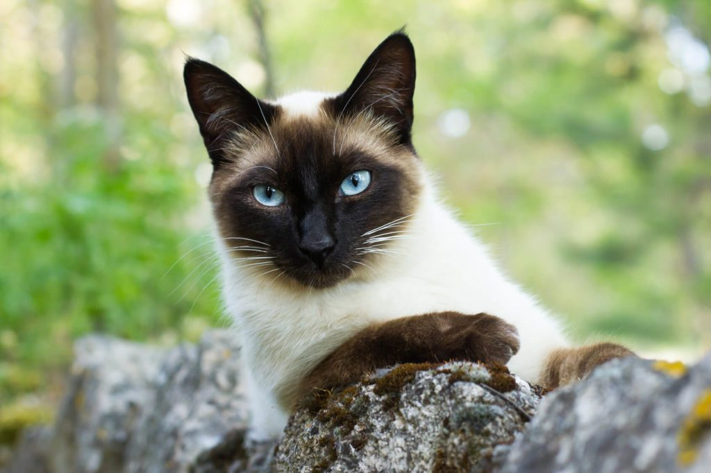 Topic des chats - Page 3 Siamois-1024x682
