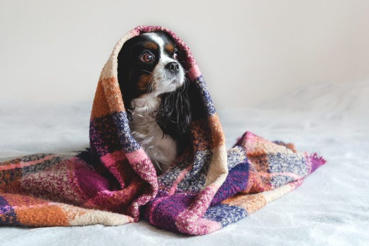 chien froid protéger
